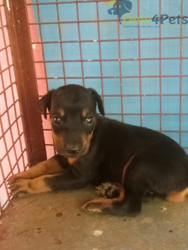 Doberman Puppy  male Available l