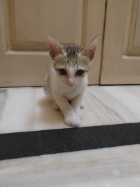 mixed colours female cross breed kitten very healthy and very active