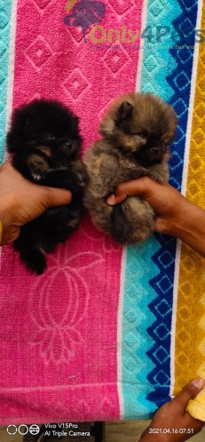beautifull toy pom male pup abelble for sale
