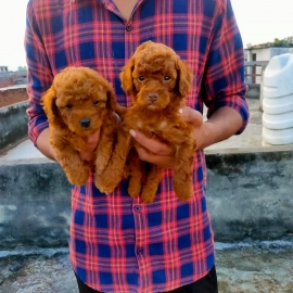 top quality POODLE MALE FEMALE PUPPYS ❤️