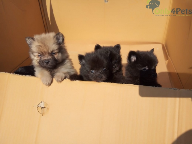 Top quality culture pom male 2 month for sale
