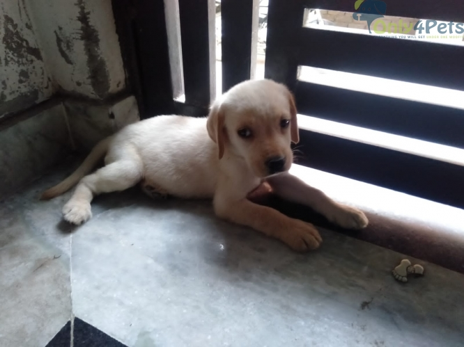 Lab female available