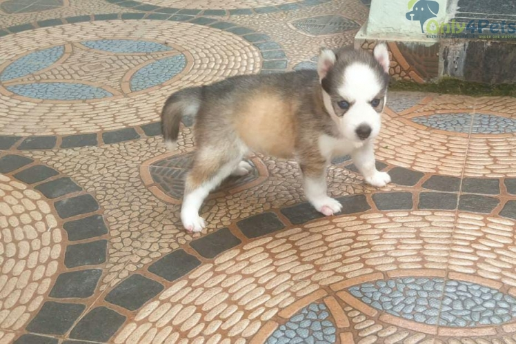 Good Quality Pepper and Salt Husky Blue Eye Male Puppy  Available