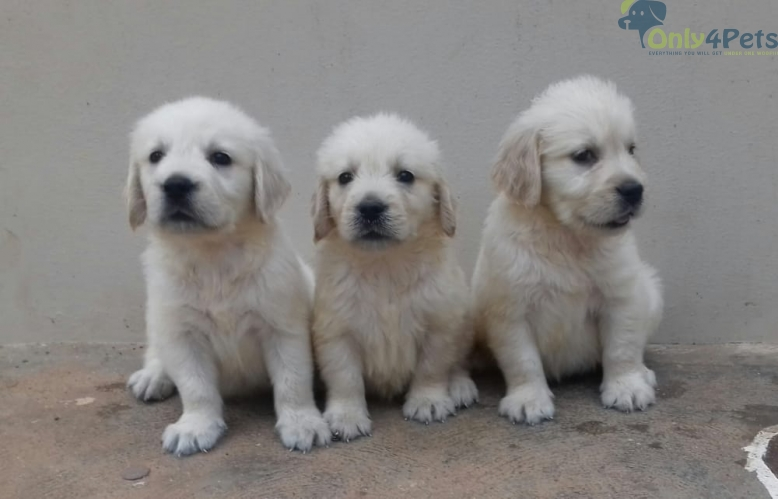 Hi Golden Retriever available for sale