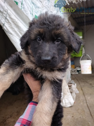Gsd long coat 2 male 1 fml available