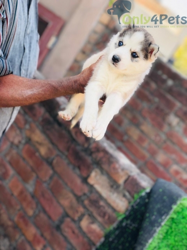 Show Quality Grey & white  Dark BLUE ????   Siberian Husky Male    Puppy     Available