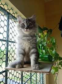 Persian kittens doll face available