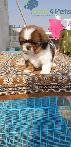 Shihtzu male puppy with kci paper extraordinary quality ????