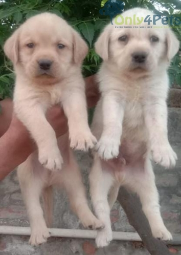 Golden lab 2 pair available for sale