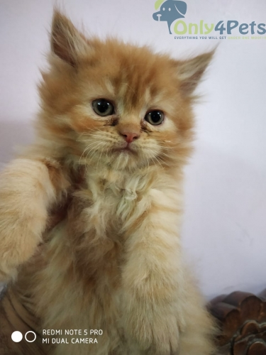 Persian Cat For Sale????????????????????????????????