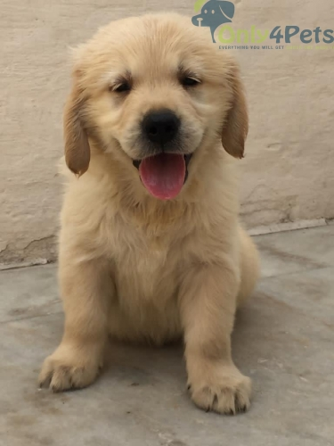 Golden retriever male pup available top quality