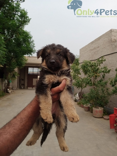 Gsd double coat male for sale age 40 days