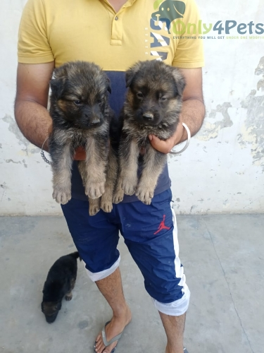Quality gsd Male acOnly male ????️????️????️