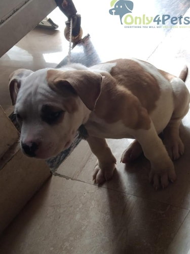 American bully male puppy for sale