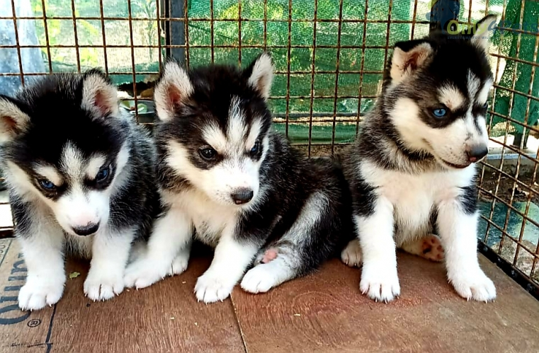 Super quality Siberian Husky male female puppies available