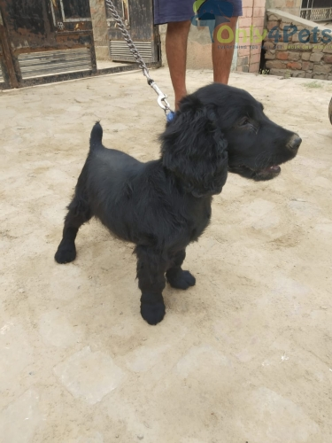 Cocker spaniel male sale top quality full healthy