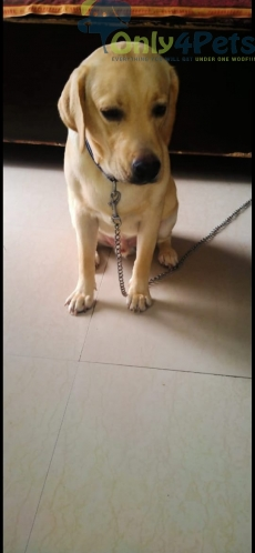 Labra male puppy fully active and fully healthy puppy.
