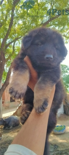 SHOW QUALITY GERMAN SHEFERD DOUBLE COAT MALE FEMALE FOR SALE