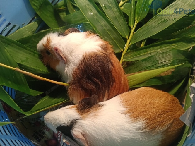 Guinea pigs available for sale