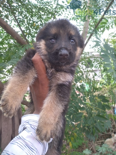 Gsd double cott 2 male  1 female pup top quality dark color black face  full andulain hevy pup