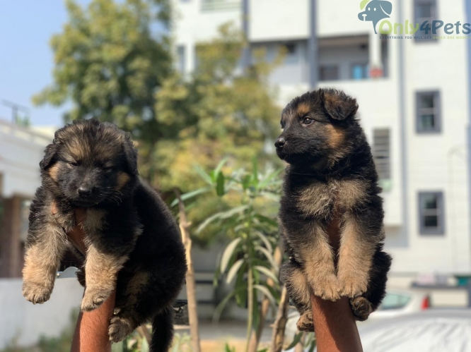 *Extraordinary Quality German Shepherd Puppies Available *