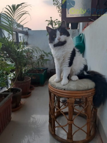 Tuxedo male cat available for mating