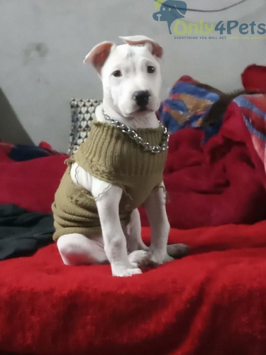 Sale dogo Argentino male