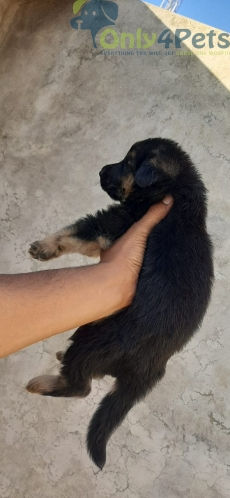 Gsd  double coat male for sale top quality