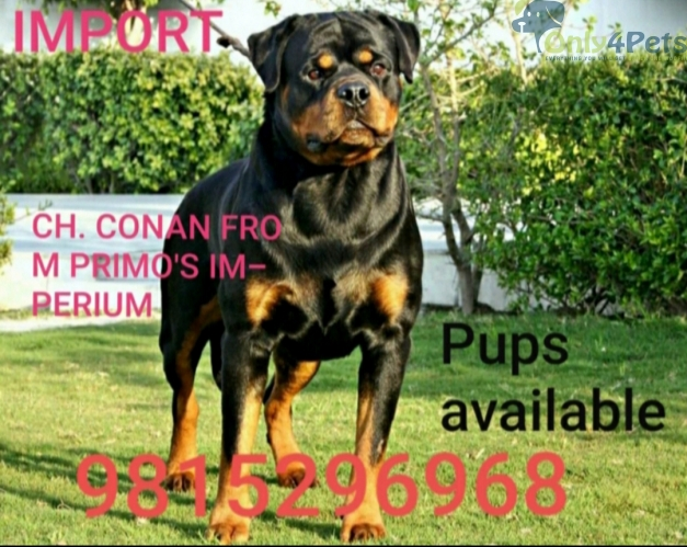 TOP QUALITY ROTTWEILER PUPPIES AVAILABLE FOR LOVING ???? SHOW HOMES.