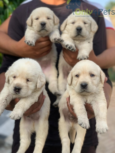 Show quality Labrador 4 male 1 female puppy available