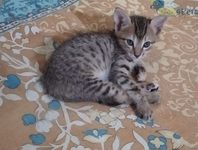Two months old Kittens available for adoption - Bangalore