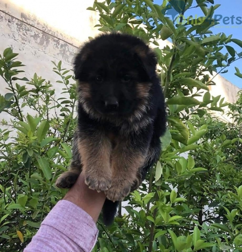 Show Quality German Shephard Only 1 black mask Male puppy Available