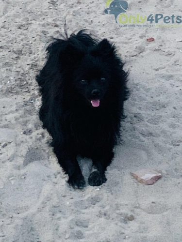 Top quality black culture male age 11 month for sale