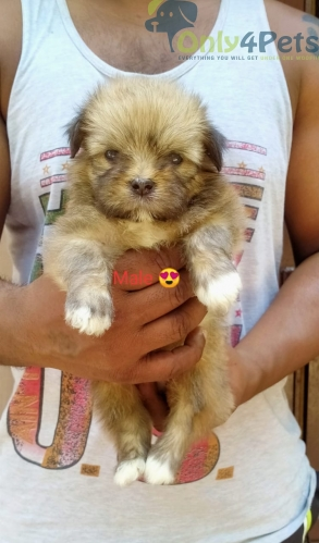 Lhasa apso male puppy.