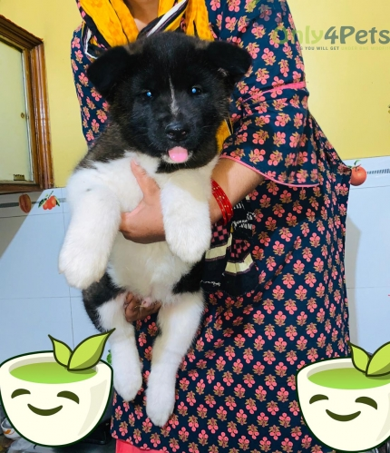 Extraordinary quality Akita male puppy