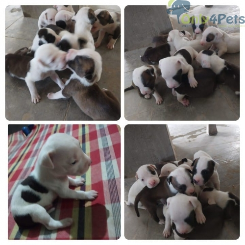 Top top quality ampitbul puppy for sale full HD quality
