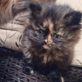 Persians Kitten And Adult Persians Available here