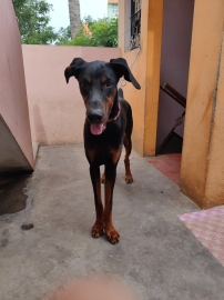 Doberman 8 month old male for sale
