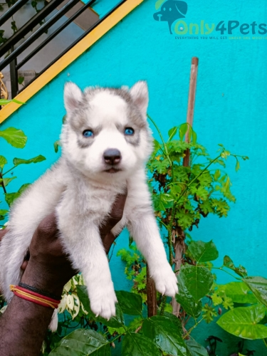 Good quality husky standard coat female puppy available