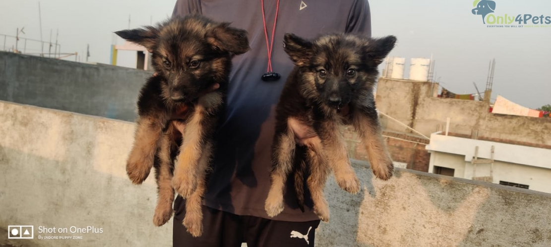 Quality *German Shepherd male female available