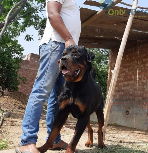 Rott stud available for sale