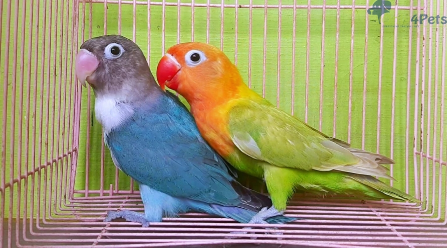 African Love Birds Looking For Lucky Home