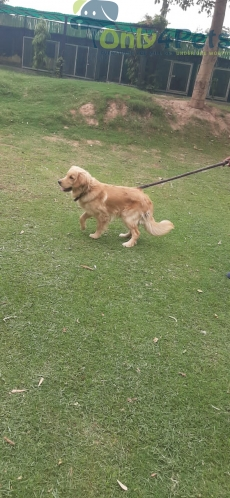 GOLDEN RETTIVER MALE AVAILABLE FOR SALE