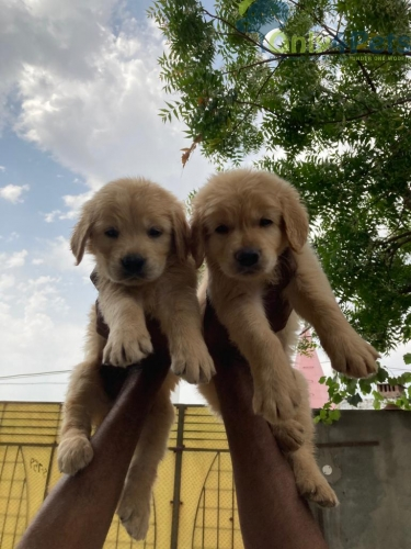 Golden retriever pup available   2 male