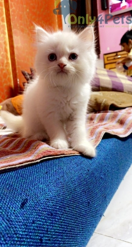 Pure White Persian Kittens Available