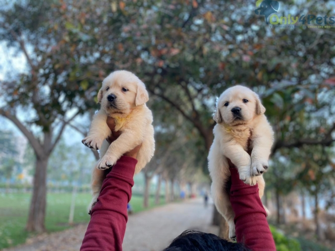 *Extraordinary quality Golden Retriever Puppies Available *