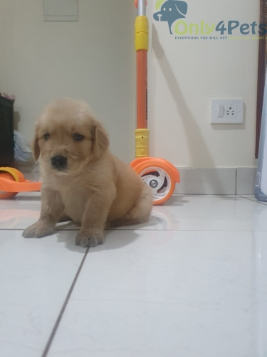 Sale of Golden Retriever puppy