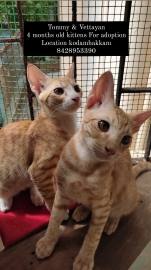 4 month old male kittens for adoption