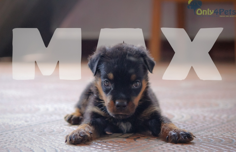 Rottweiler male pup for sale