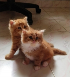 Doll face Persian kittens for sale. Golden brown colour.